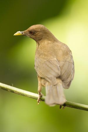 mary-ann-mcdonald-clay-colored-robin