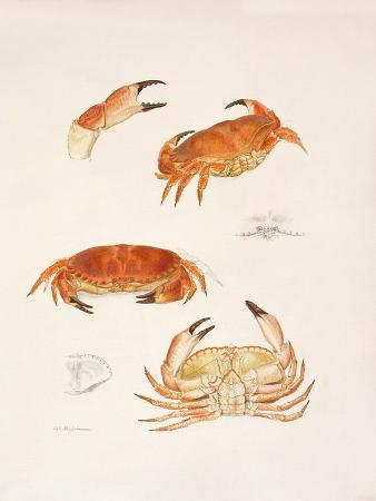 mary-clare-critchley-salmonson-crabs-1986