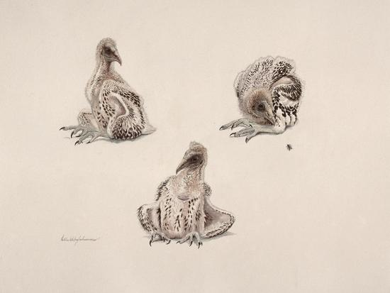 mary-clare-critchley-salmonson-egyptian-vulture-1985