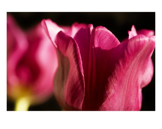 mary-lane-pink-tulips