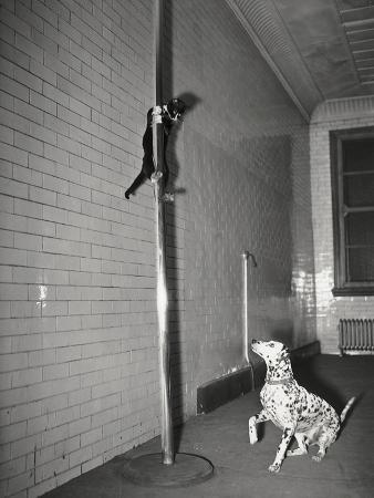 mascot-slides-down-pole-to-dalmation