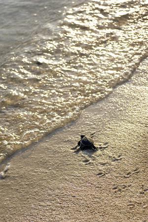 matthew-oldfield-green-turtle-hatchling