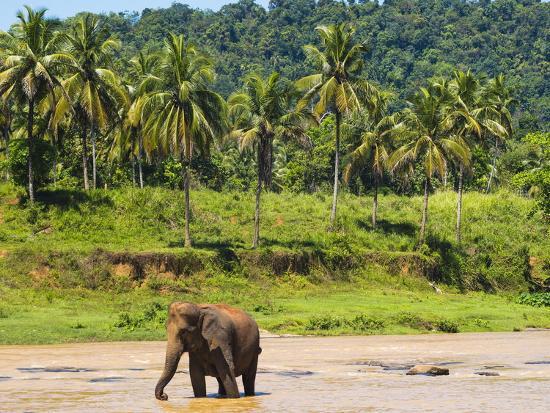 matthew-williams-ellis-elephant-at-pinnawala-elephant-orphanage-sri-lanka-asia