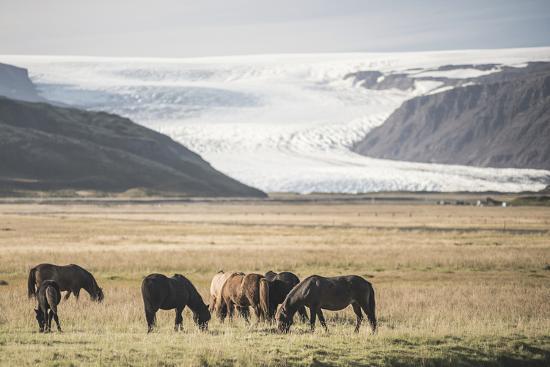 matthew-williams-ellis-icelandic-horses-with-a-glacier-running-down-from-the-vatnajokull-ice-cap-behind-polar-regions