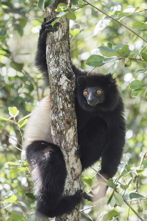 matthew-williams-ellis-milne-edwards-sifaka-propithecus-edwardsi-ranomafana-national-park-madagascar-central-highlands