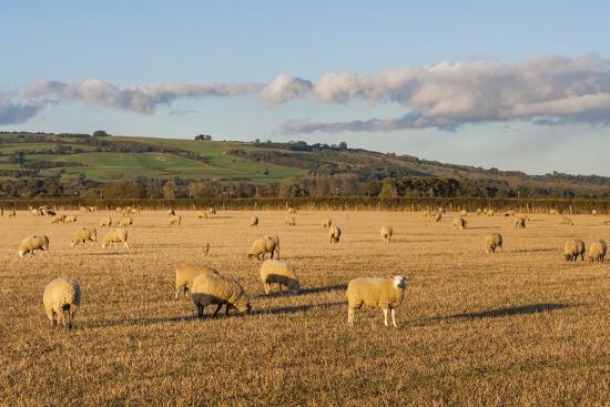 matthew-williams-ellis-sheep-in-the-cotswolds-tewkesbury-gloucestershire-england-united-kingdom-europe