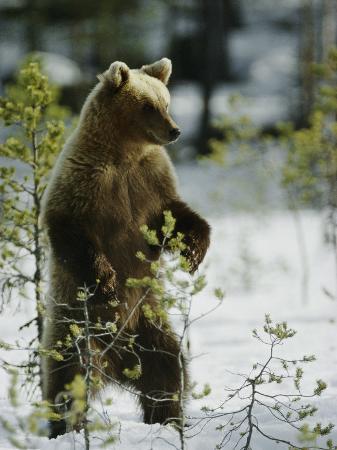 mattias-klum-a-brown-bear-runs-over-a-frozen-bog-in-winter
