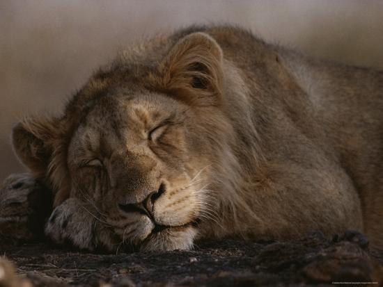 mattias-klum-asian-lion-sleeping-gir-forest-gujarat-state-india