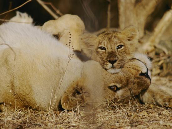 mattias-klum-female-asian-lion-with-cub