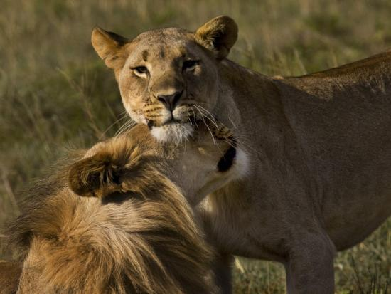 mattias-klum-male-and-female-african-lions-panthera-leo-nuzzling