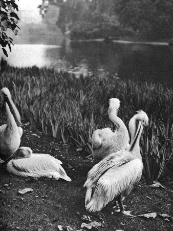 mcleish-the-pelicans-of-st-james-s-park-london-1926-1927