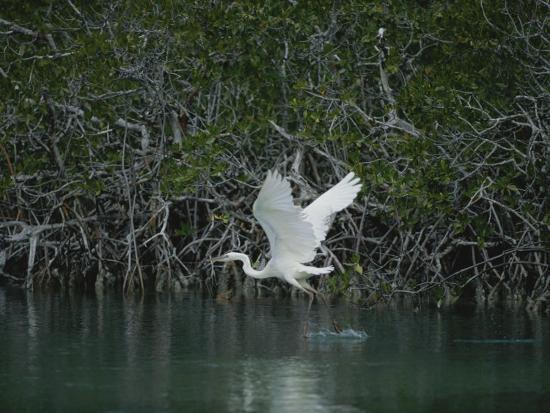 medford-taylor-a-great-blue-heron-ardea-herodias-stalks-prey-in-a-mangrove-swamp