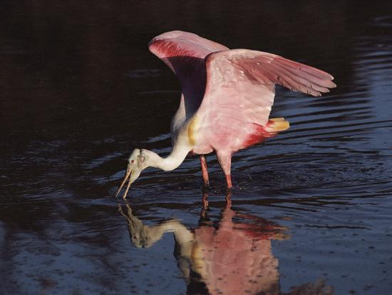 medford-taylor-a-roseate-spoonbill-forages-for-food-in-everglades-national-park
