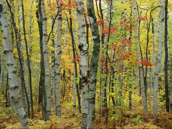 medford-taylor-an-autumn-view-of-a-birch-forest-in-michigans-upper-peninsula