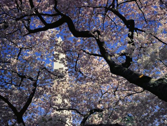 medford-taylor-japanese-cherry-blossoms-frame-a-view-of-the-washington-monument