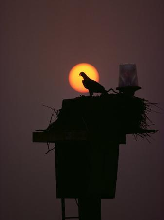 medford-taylor-silhouetted-osprey-on-its-nest