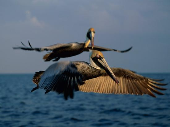 medford-taylor-two-brown-pelicans-in-flight-over-key-biscayne
