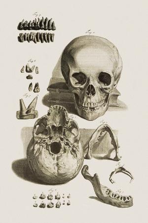 mehau-kulyk-skull-jaw-bone-and-teeth