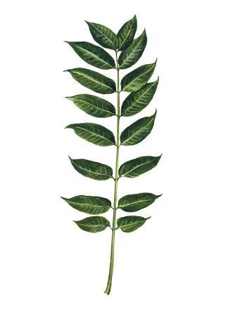 meliaceae-leaves-of-chinese-mahogany-toona-sinensis-or-cedrela-sinensis
