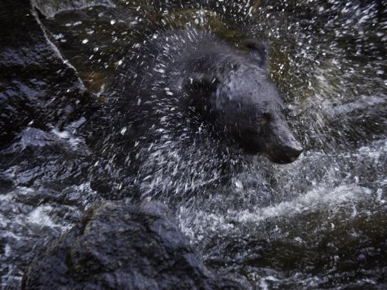 melissa-farlow-a-black-bear-hunting-for-salmon-in-anan-creek