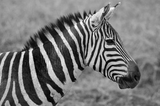 meunierd-zebras
