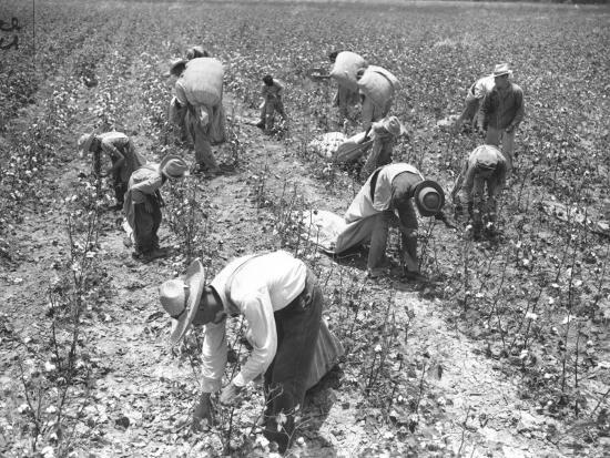 mexican-cotton-pickers