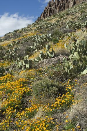 mexican-poppies-and-other-chihuahuan-desert-plants-in-the-little-florida-mountains-new-mexico