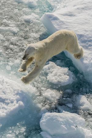 michael-adult-polar-bear-ursus-maritimus-on-ice-floe