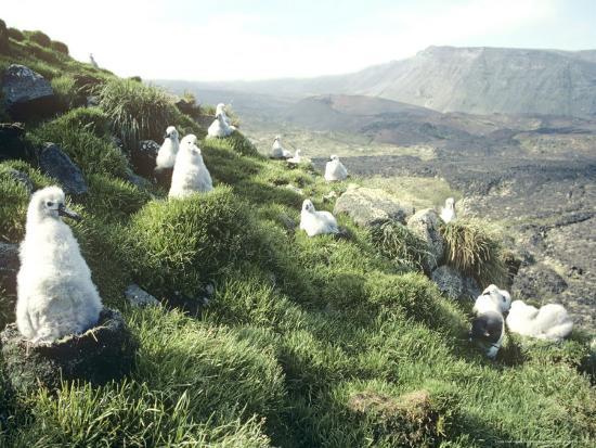 michael-brooke-grey-headed-albatross-chicks-marion-island