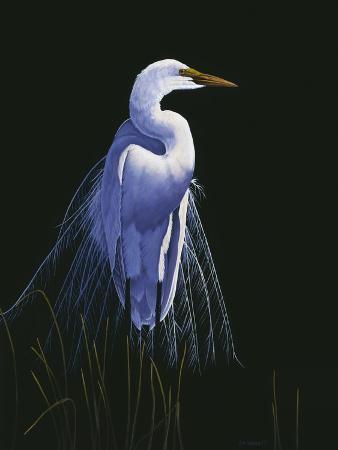 michael-budden-common-egret-in-breeding-plumage