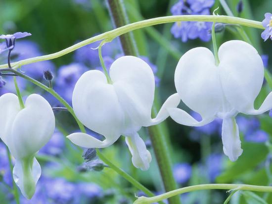 michael-davis-dicentra-spectabilis-alba-and-myosotis-sylvatica-bleeding-hearts-and-forget-me-not-white-flower