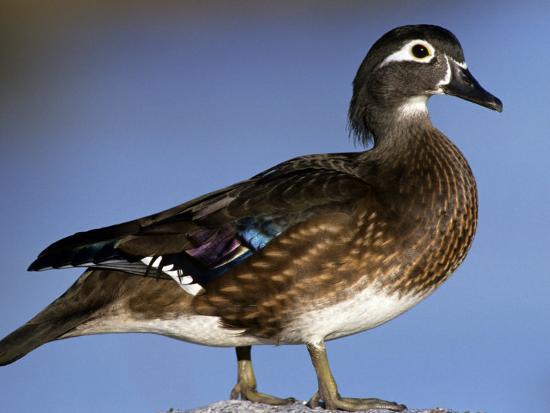 michael-defreitas-female-wood-duck