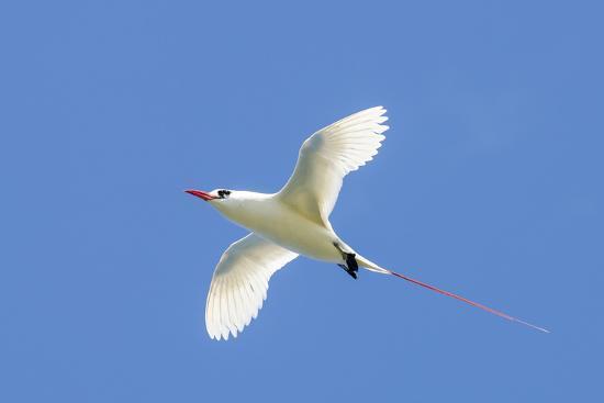 michael-defreitas-red-tailed-tropicbird-kilauea-point-national-wildlife-refuge-kauai-hawaii