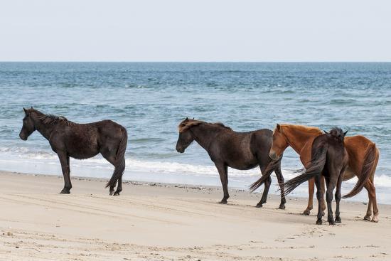 michael-defreitas-wild-mustangs-banker-horses-equus-ferus-caballus-in-currituck-national-wildlife-refuge
