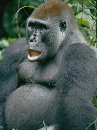 michael-fay-a-close-view-of-a-lowland-gorilla