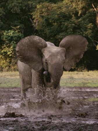 michael-fay-a-forest-elephant-runs-through-water