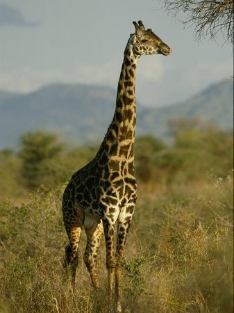 michael-fay-a-giraffe-in-the-wild