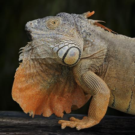 michael-kern-albino-iguana-iguana-iguana-captive
