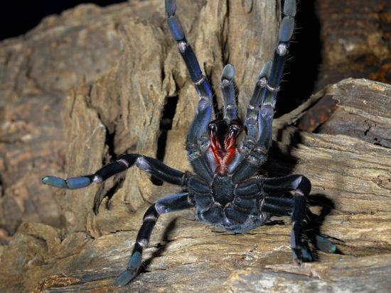 michael-kern-cobalt-blue-tarantula-haplopelma-lividum-captive
