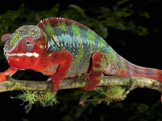 michael-kern-panther-chameleon-furcifer-pardalis-captive