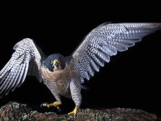 michael-kern-peregrine-falcon-falco-peregrinus-captive