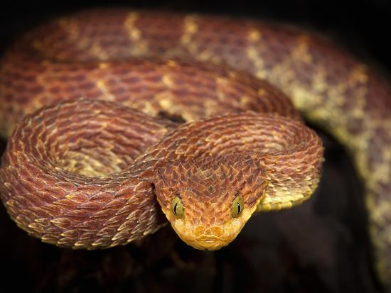 michael-kern-variable-bush-viper-atheris-squamigera-captive
