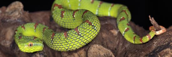 michael-kern-wagler-s-pit-viper-tropidolaemus-wagleri-captive