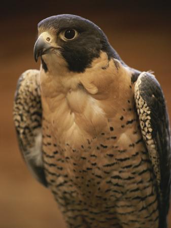 michael-melford-a-portrait-of-a-peregrine-falcon-falco-peregrinus