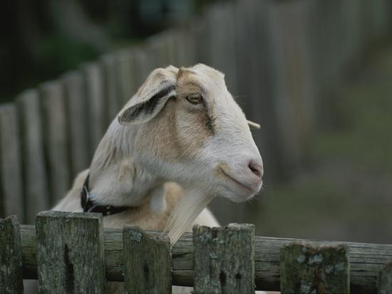 michael-melford-close-view-of-a-goat-looking-over-a-wooden-fence