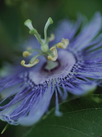 michael-melford-close-view-of-a-passion-flower-on-cumberland-island