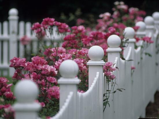michael-melford-pink-roses-growing-along-a-wooden-fence