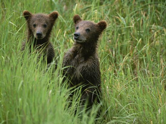 michael-melford-two-grizzly-bear-cubs-in-tall-grass-in-katmai-national-park