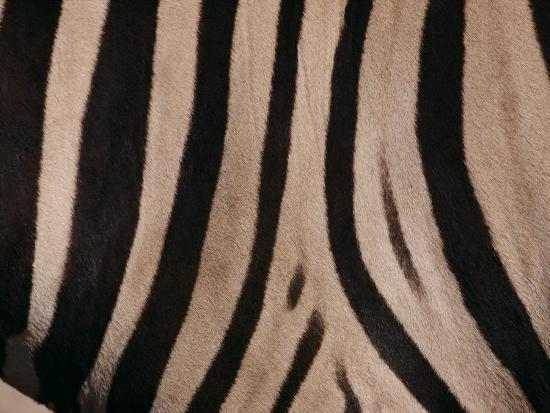 michael-nichols-a-close-view-of-a-zebras-stripes