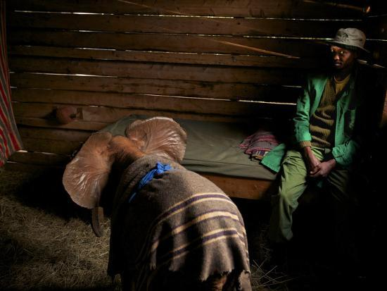 michael-nichols-a-two-week-old-rescued-orphan-elephant-with-her-keeper